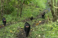 A troop of Celebes crested macaque Macaca nigra in Tangkoko National Park in North Sulawesi, Indonesia. A troop of Celebes crested macaque Macaca nigra playing Stock Images