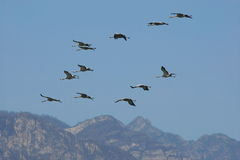 Troop of cranes  flying Royalty Free Stock Photo