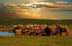 Troop, herd of elephant, Loxodonta africana, drinking at the water hole in late afternoon in Addo Elephant National Park. Manipulated wildlife picture on safari Royalty Free Stock Images