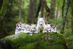 Troop of husky puppies Stock Photo