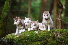 Troop of husky puppies Stock Image