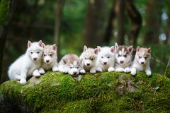 Troop of husky puppies Royalty Free Stock Photo