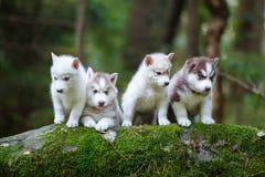 Troop of husky puppies Stock Images