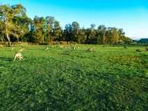 Troop of kangaroos resting and feeding in the afternoon royalty free stock images