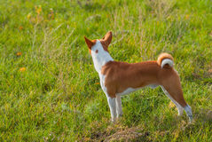 Troop leader looking into the distance. Cute Basenji dog - troop leader looking into the distance Royalty Free Stock Photo