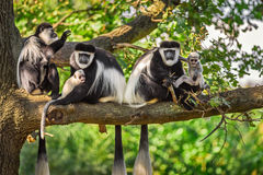 A troop of Mantled guereza monkeys plays with two newborns Royalty Free Stock Photos
