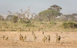 Troop of Olive baboons in Amboseli, Kenya Stock Photo