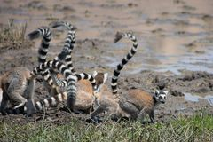 Troop of Ring Tailed Lemurs foraging on ground Stock Images