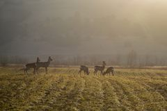 Troop of roe deer Stock Photo