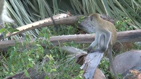 Troop of Vervet Monkeys foraging on the ground stock footage