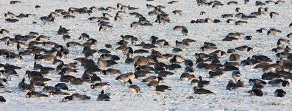 Troop wild goose grazing in wintertime Royalty Free Stock Photography