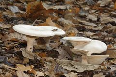 Trooping Funnel Fungi stock photos