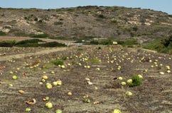 Trop mûr et fendu la pastèque dans la plantation grecque image stock