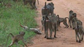 Tropa de babuinos en Kenia almacen de metraje de vídeo