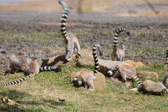 Tropa de Ring Tailed Lemurs que forrajea para la comida Imagen de archivo
