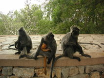 Tropa dos monkies Fotografia de Stock
