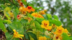 Tropaeolaceae, jardin au secteur de Don Duong, ville de Lat du DA, province de Lam Dong, Vietnam banque de vidéos