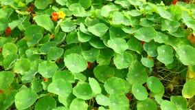 Tropaeolaceae, ogród przy Don Duong okręgiem, Da Lat miasta, zwiania Dong prowincja, Wietnam zbiory