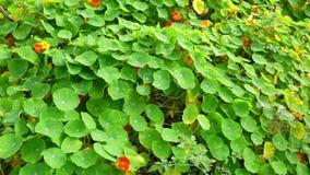 Tropaeolaceae, ogród przy Don Duong okręgiem, Da Lat miasta, zwiania Dong prowincja, Wietnam zdjęcie wideo