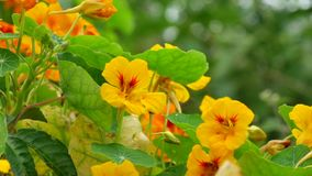 Tropaeolaceae, ogród przy Don Duong okręgiem, Da Lat miasta, zwiania Dong prowincja, Wietnam zbiory wideo