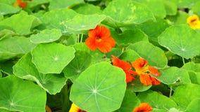 Tropaeolaceae trädgård på det Don Duong området, Da-Latstad, Lam Dong landskap, Vietnam stock video