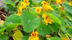 Tropaeolaceae trädgård på det Don Duong området, Da-Latstad, Lam Dong landskap, Vietnam lager videofilmer
