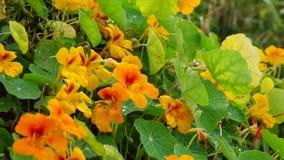 Tropaeolaceae trädgård på det Don Duong området, Da-Latstad, Lam Dong landskap, Vietnam arkivfilmer
