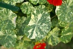 Tropaeolum majus 'Alaska', Variegated Nasturtium Royalty Free Stock Photo