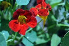 Tropaeolum majus garden nasturtium, Indian cress, monks cress blooming red bright flowers close up detail. Soft blurry background stock images