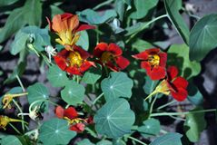 Tropaeolum majus garden nasturtium, Indian cress, monks cress blooming red bright flowers close up top view. Soft blurry background royalty free stock photography