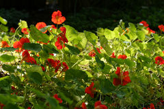 Tropaeolum - nasturtium Royalty Free Stock Photos