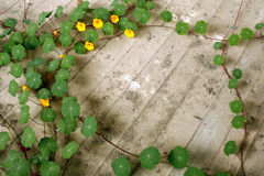 Tropaeolum plant Stock Photos