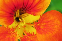 Tropaeolum pollen Royalty Free Stock Photography