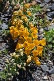 Tropaeolum polyphyllum flower Royalty Free Stock Photography