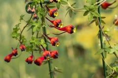Tropaeolum tricolore Photos stock