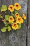 Tropaeolumbloem (Oostindische kers) Stock Foto