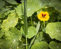 Tropaeolummajusindiankrasse, lös blomma för indisk kryddkrasse i natur Arkivbild