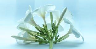 Tropcal-Frangipani-Blumen Stockbilder