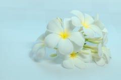 Tropcal-Frangipani-Blumen Lizenzfreies Stockbild