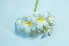 Tropcal-Frangipani-Blumen Stockfoto