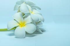 Tropcal-Frangipani-Blumen Stockfotografie