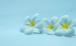 Tropcal-Frangipani-Blumen Lizenzfreie Stockbilder