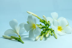 Tropcal-Frangipani-Blumen Stockbild