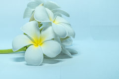 Tropcal Frangipani Flowers Stock Photography
