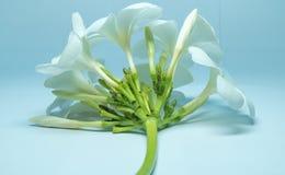 Tropcal Frangipani Flowers Stock Image
