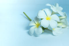 Tropcal Frangipani Flowers Stock Images
