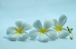 Tropcal Frangipani Flowers Stock Photos