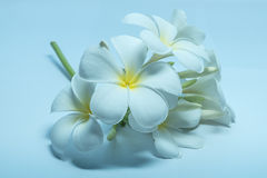 Tropcal Frangipani Flowers Royalty Free Stock Image