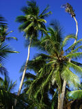 Tropcal paradise. A few palm tree's again a celar blue sky royalty free stock photography