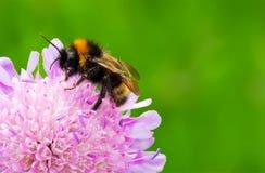 Tropeçar a abelha Foto de Stock Royalty Free